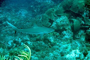 another caribbean reefshark, or not Jerry?
